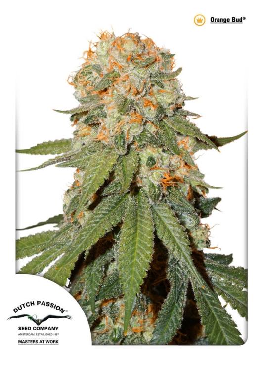 Orange Bud vom Hersteller Dutsch Passion