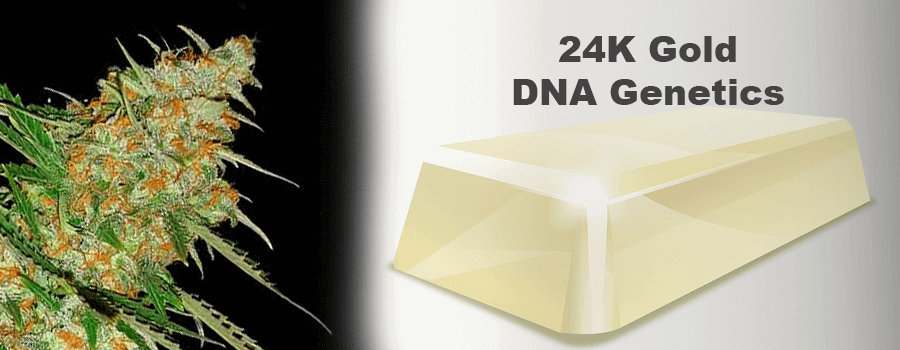 24K Gold DNA Genetics Cannabis Cup Sieger