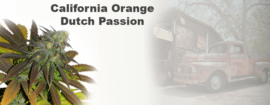 Californian Orange Dutch Passion Cannabis Cup Sieger