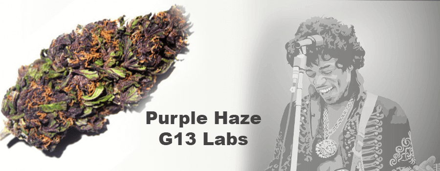 Purple Haze g13 Labs beste Hanfsamen