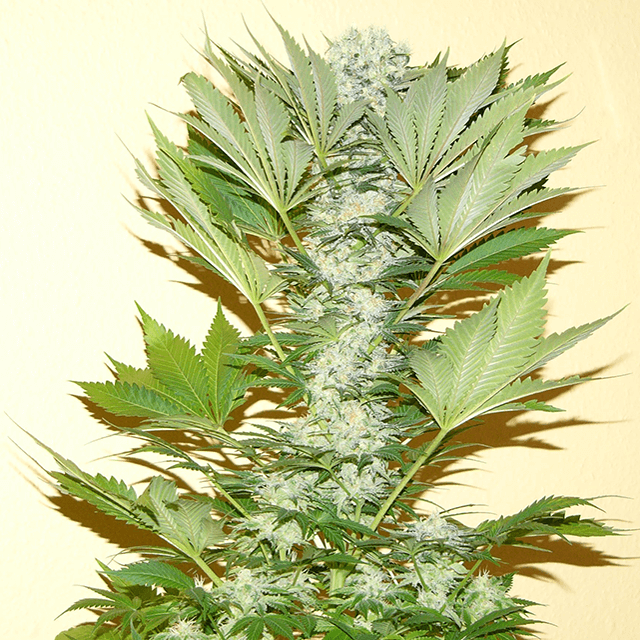 Misty Kush reg.-Nirvana Seeds