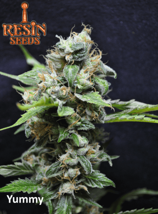Yummy-Resin Seeds