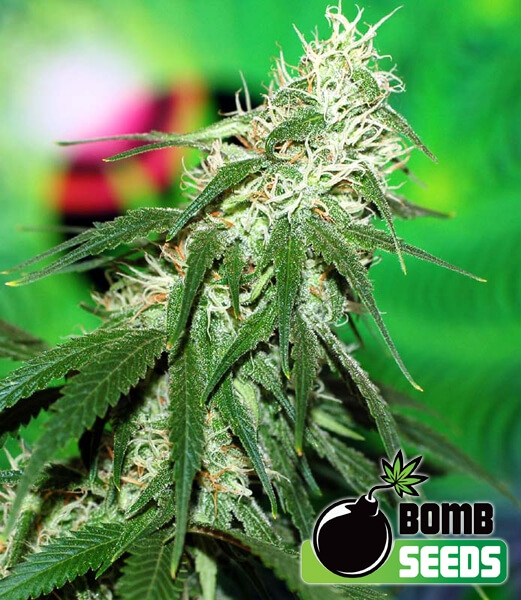 Buzz Bomb reg.-Bomb Seeds