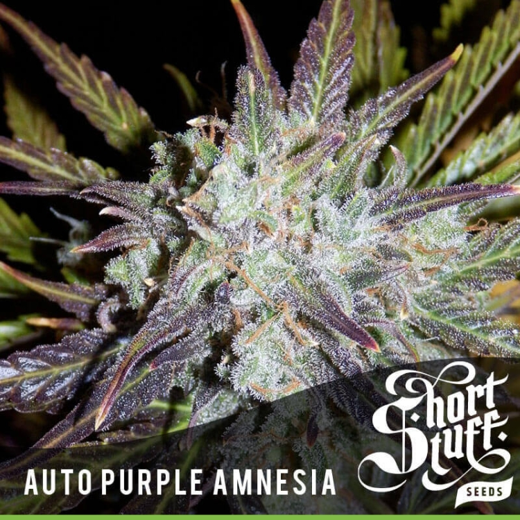 Auto Purple Amnesia-Short Stuff Seedbank