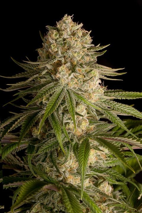 Critical Kush (Dinafem Seeds)