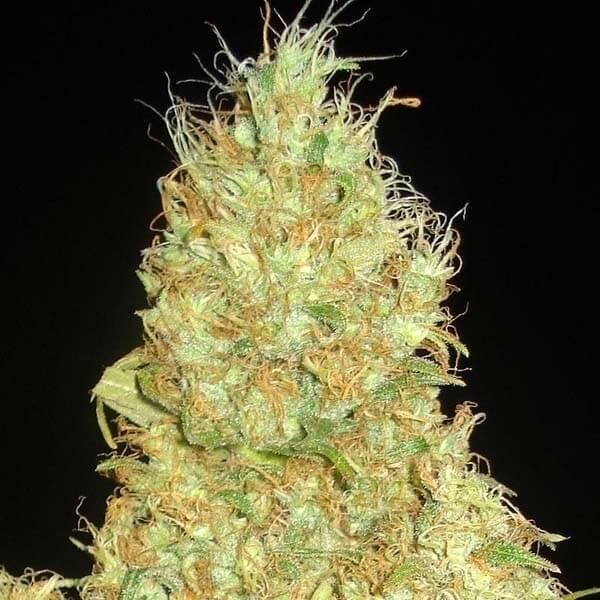 Fruity Chronic Juice-Delicious Seeds