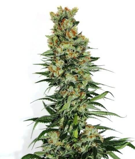 Fuel OG-Ripper Seeds