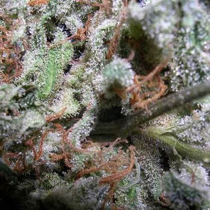 Indica Champions Pack-Paradise Seeds