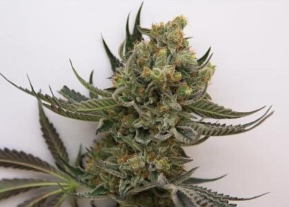Star Bud-HortiLabs Seeds