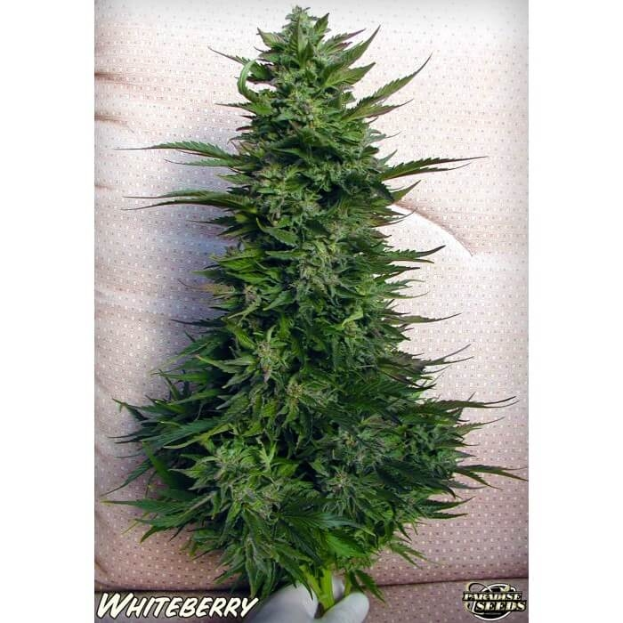 White Berry-Paradise Seeds