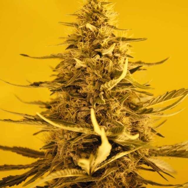 White Widow reg. (Nirvana Seeds)