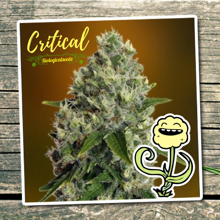 Critical (Biological Seeds)