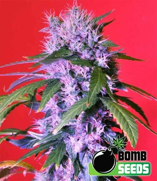 Berry Bomb reg.