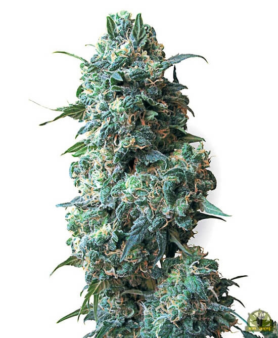 Afghan Kush reg. (White Label Seeds)