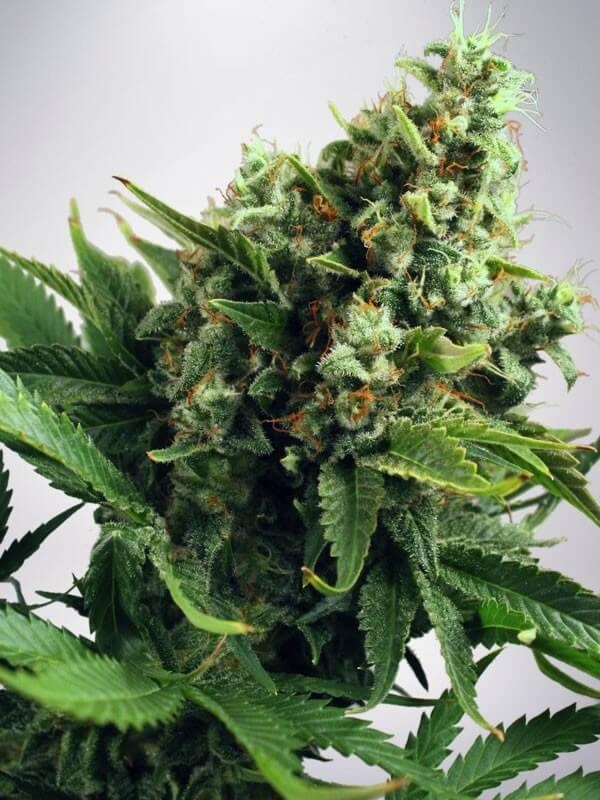 Auto White Widow (Ministry of Cannabis)
