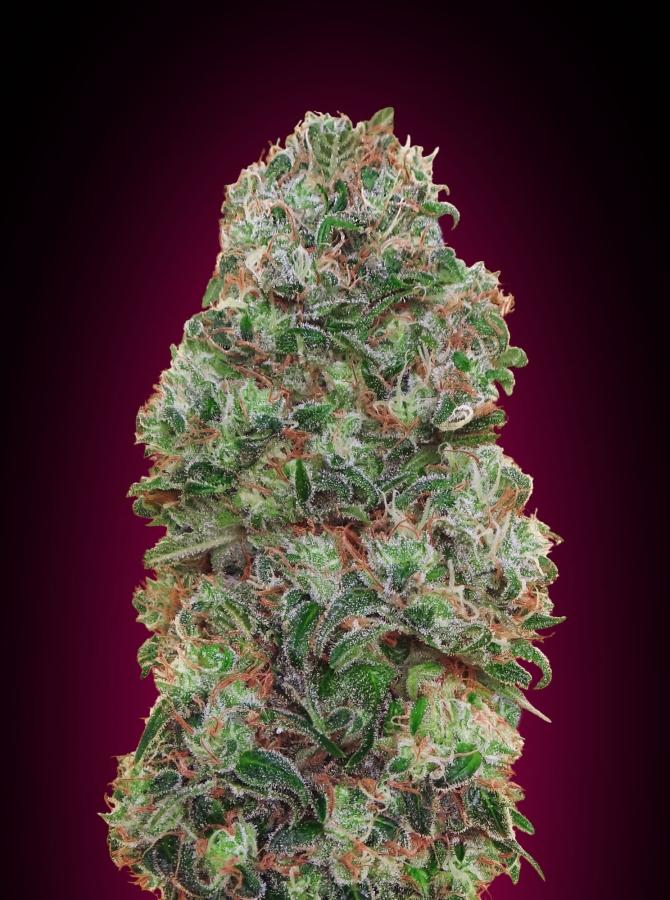 Bubble Gum (00 Seeds Seedsbank)