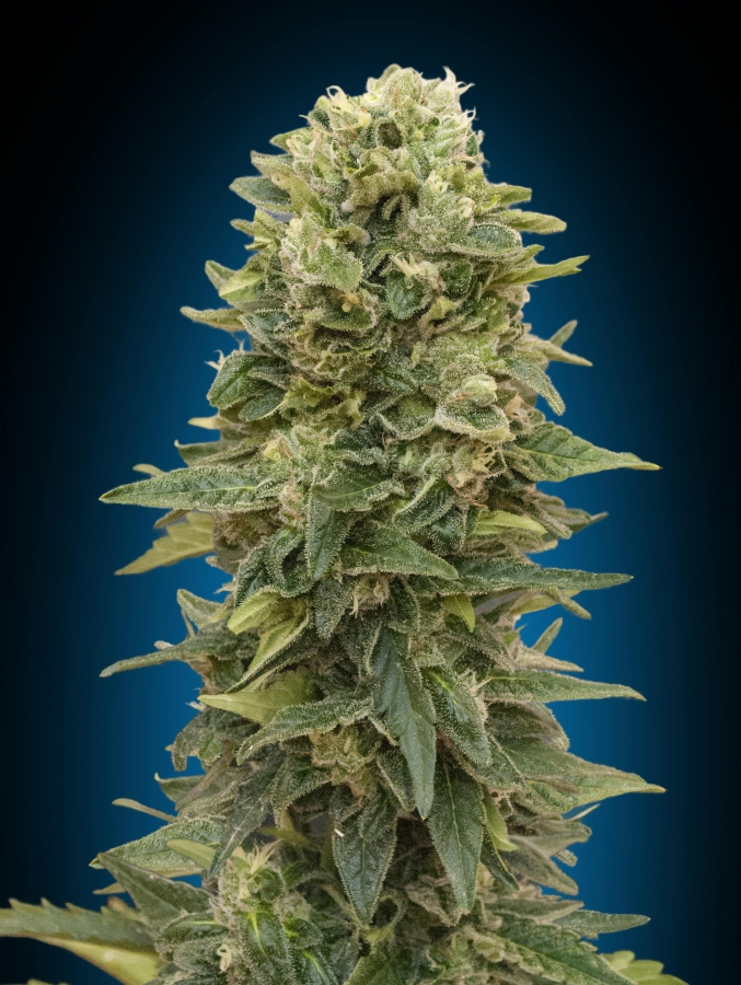 Female Mix (00 Seeds Seedsbank)