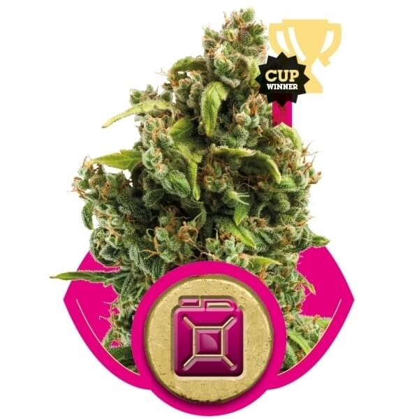 Sour Diesel (Royal Queen Seeds)