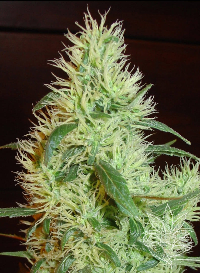 White Widow (Fanta)