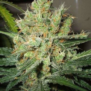 Pure Power Plant (Nirvana Seeds) reg.