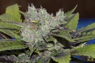 Sweet Tooth 3 BX1 reg.