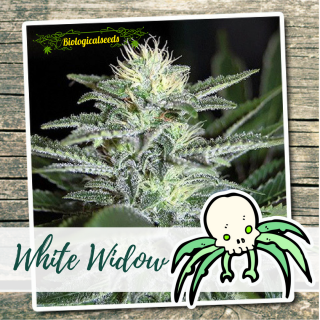 White Widow