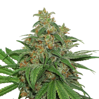 Amnesia (Seed Stockers)