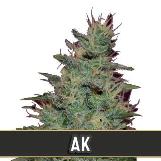 AK Auto (BlimBurn Seedsa)