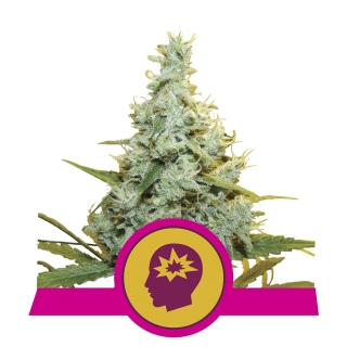 AMG (Royal Queen Seeds)