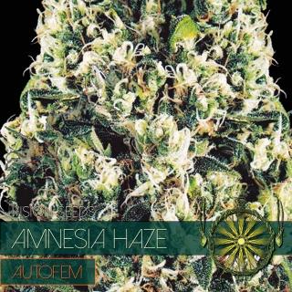 Amnesia Haze Auto (Vision Seeds)