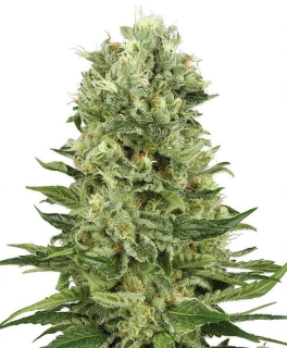 Auto Skunk (Biological Seeds)