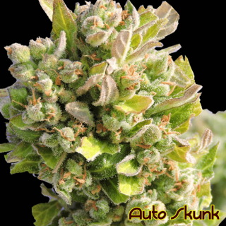 Auto Skunk (Original Sensible seeds)