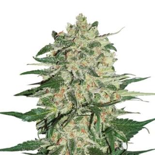 Big Bud (Seed Stockers)