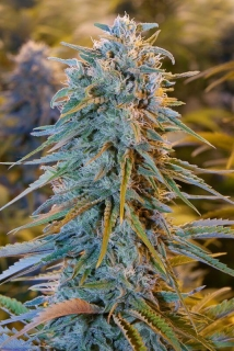 Blue Dream (Humboldt Seeds)