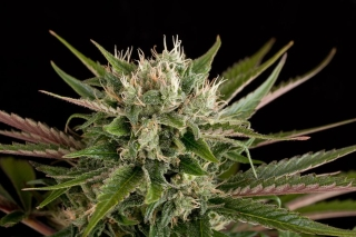 Blue Cheese (Dinafem Seeds)