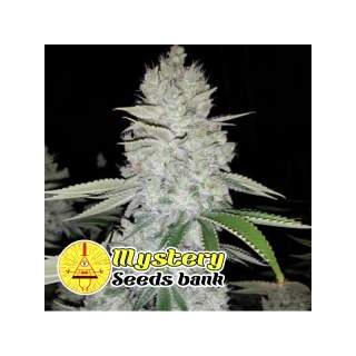 Gorilla Glue S1 (Mystery Seeds)