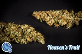 Heavens Fruit - Philosopher Seeds