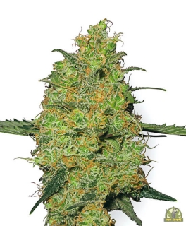 Master Kush reg. (White Label Seeds)