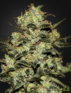Moby Dick (Green House Seeds)