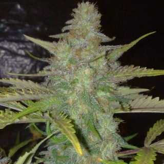 Northern Light (Amaranta Seeds)