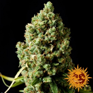 Pineapple Express Auto (Barney´s Farm)