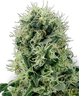 Pure Power Plant (White Label Seeds)