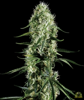 Super Silver Haze (Green House Seeds)