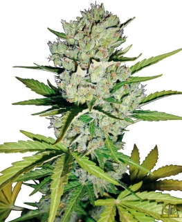Super Skunk (Sensi Seeds)
