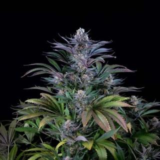 Super Silver Hash Plant reg.