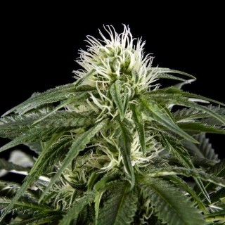 White Rhino (Green House Seeds)