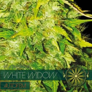 White Widow Auto (Vision Seeds)