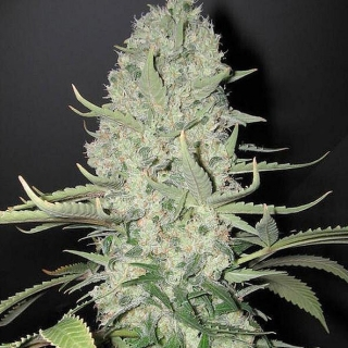White Widow (Biological)