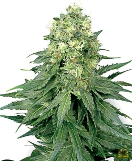 White Widow reg. (White Label Seeds)